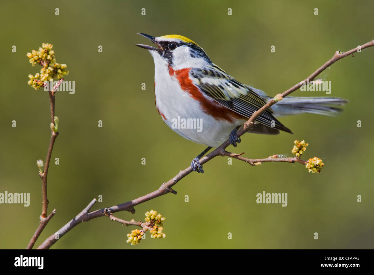 Chestnut-sided warbler (Dendroica pensylvanica) perched on a branch near Long Point, Ontario, Canada - Stock Image