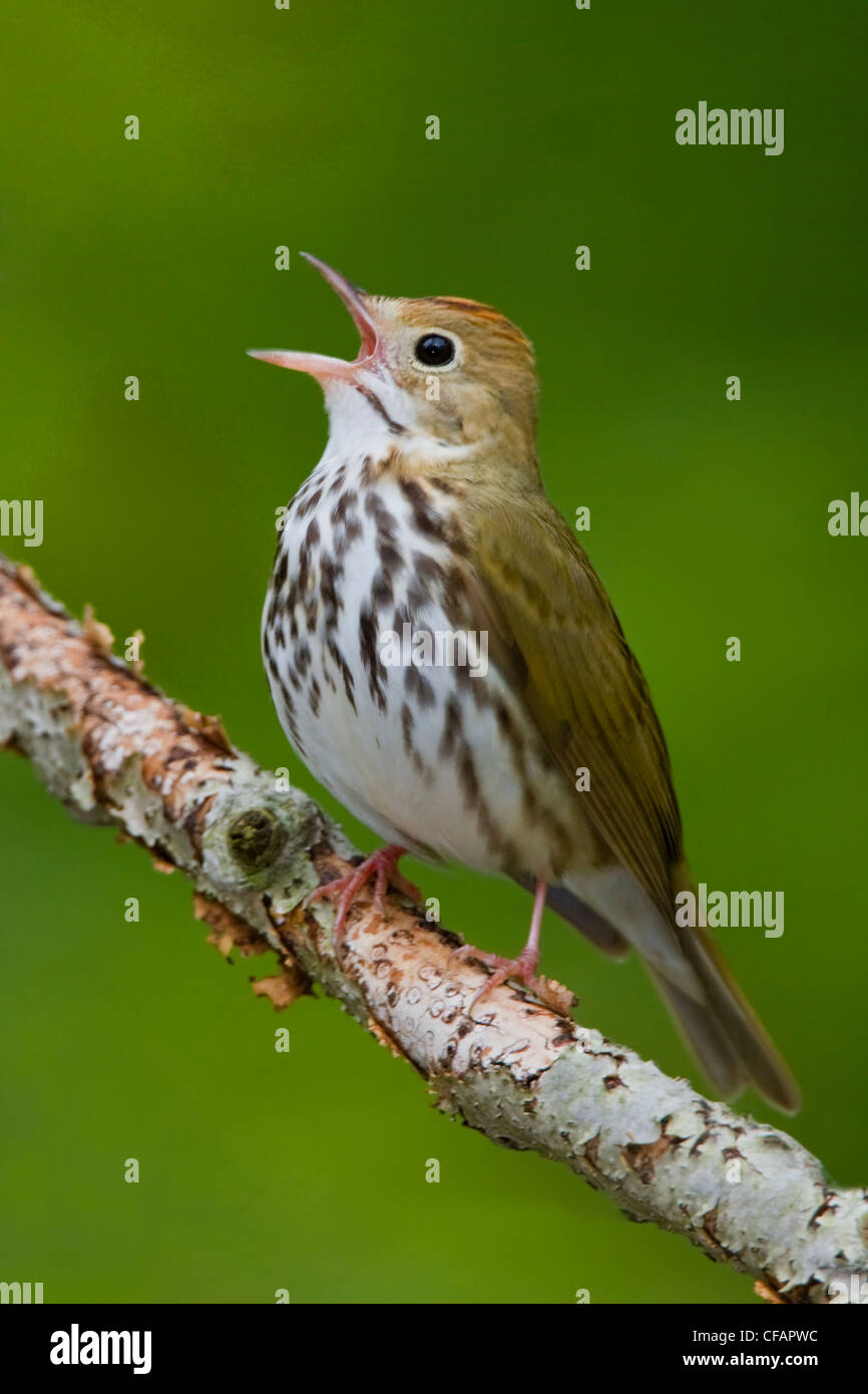 Ovenbird (Seiurus aurocapillus) perched on a branch singing near Long Point, Ontario, Canada - Stock Image