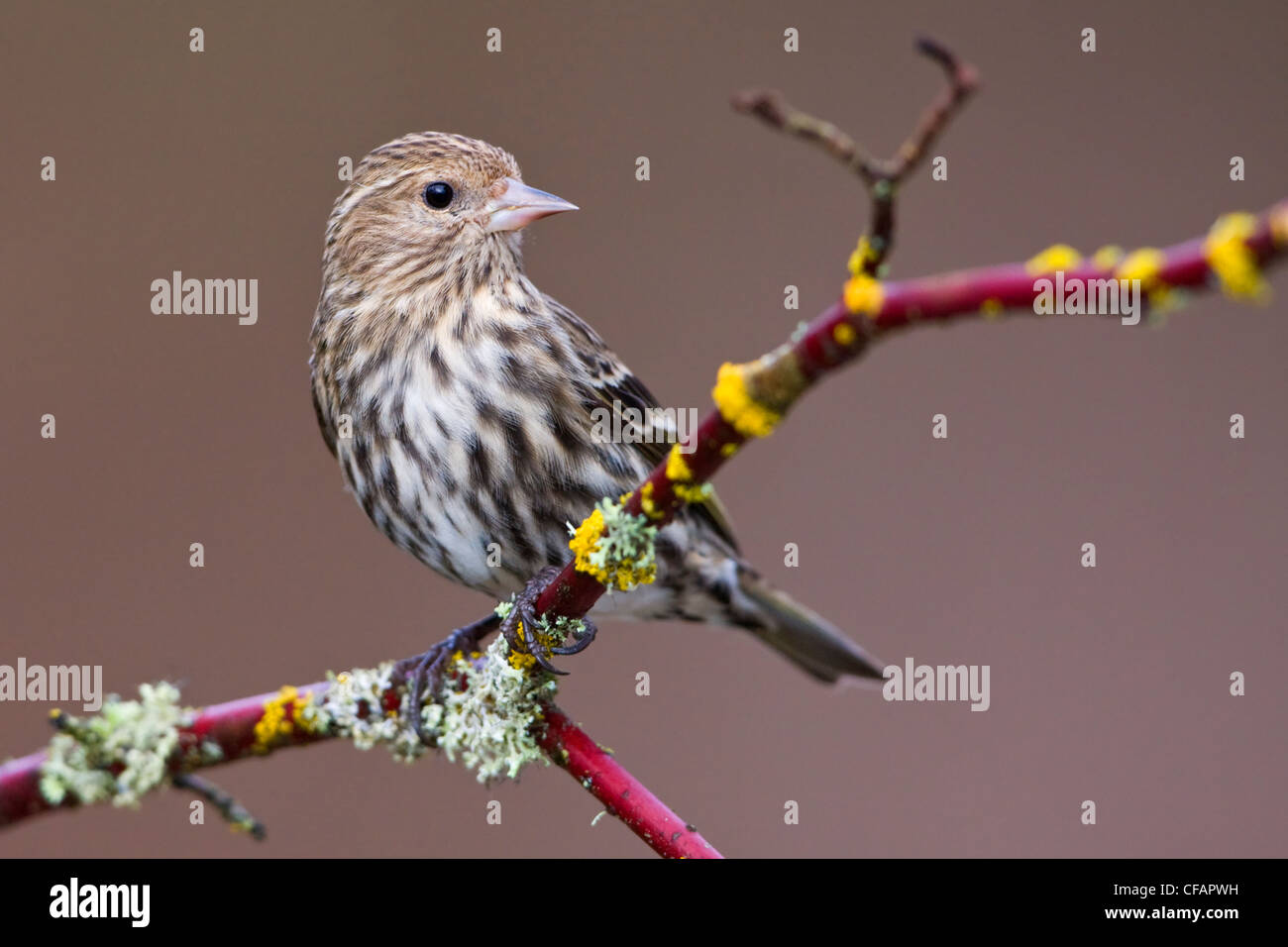 Pine siskin (Carduelis pinus) perched on a branch in Victoria, Vancouver Island, British Columbia, Canada Stock Photo