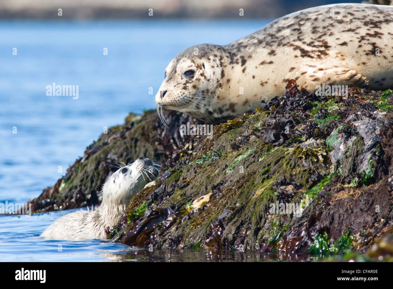 Fur seals (Callorhinus ursinus) adult and pup basking on rocks near Victoria, Vancouver Island, British Columbia, - Stock Image