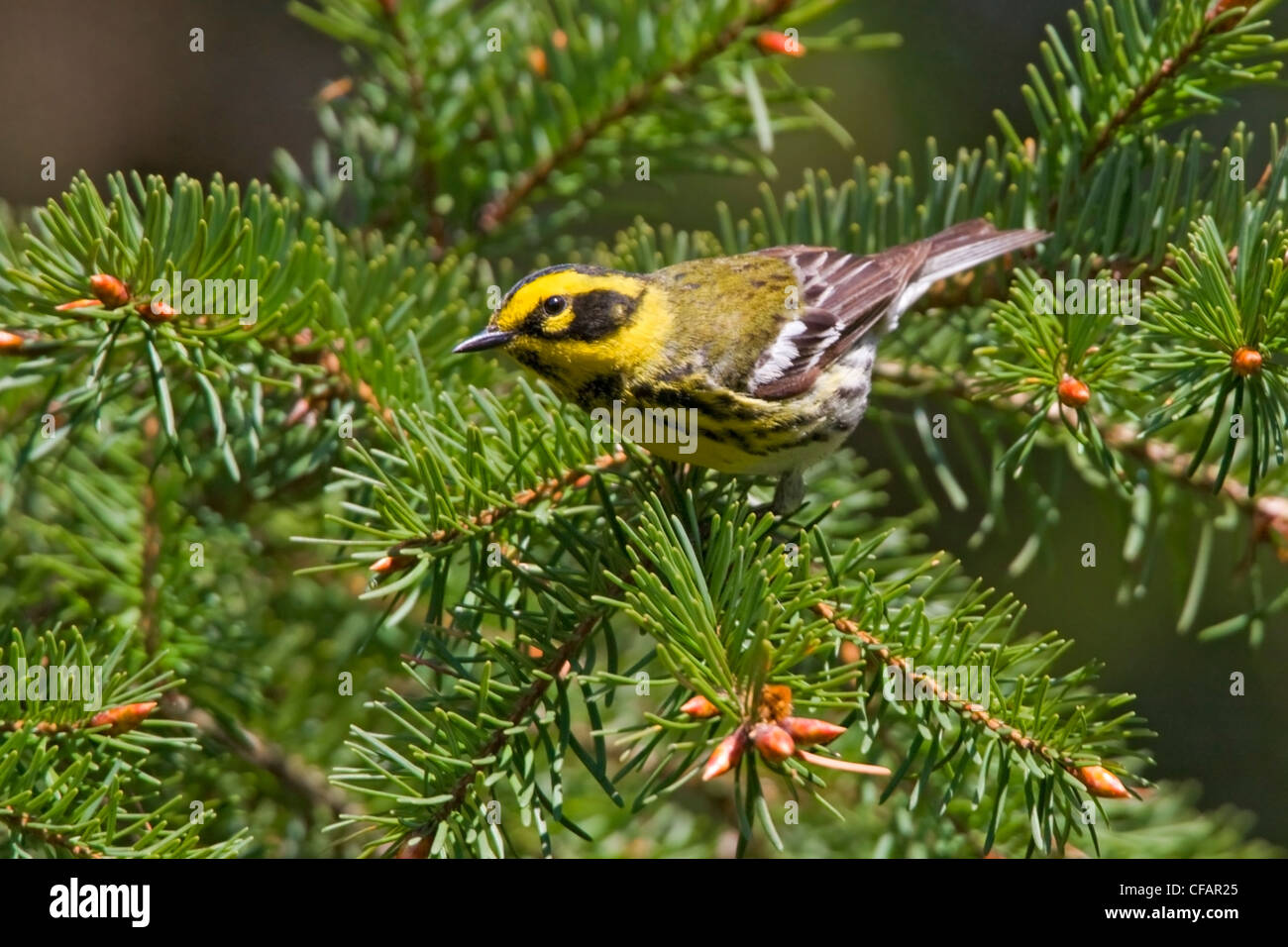 Townsend's warbler (Dendroica townsendi) perched on an evergreen branch in Victoria, Vancouver Island, British - Stock Image