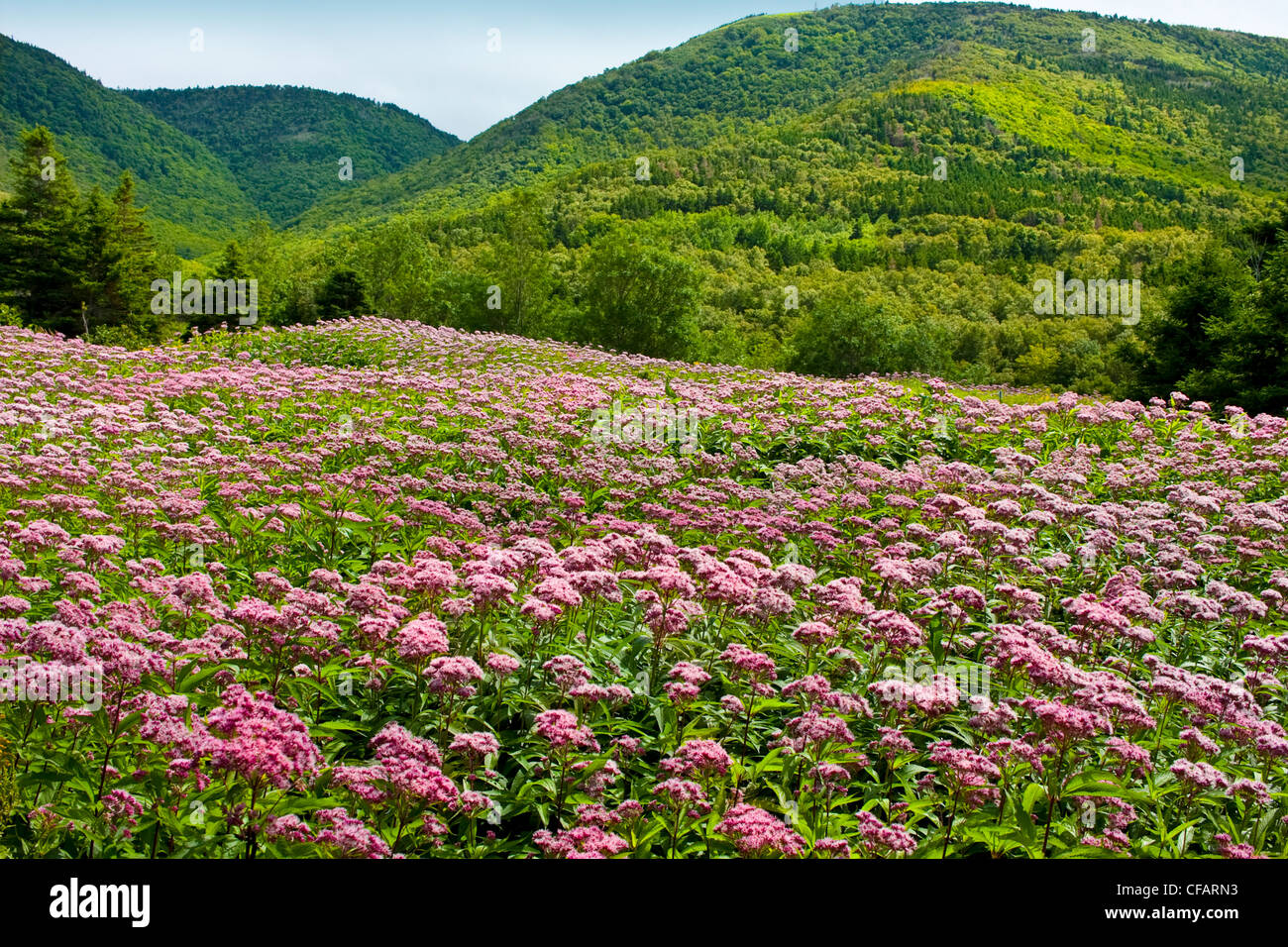 Field of Spotted Joe-pye Weed, (Eupatorium maculatum) at Cap Rouge in Highlands National Park, Cape Breton, Nova - Stock Image