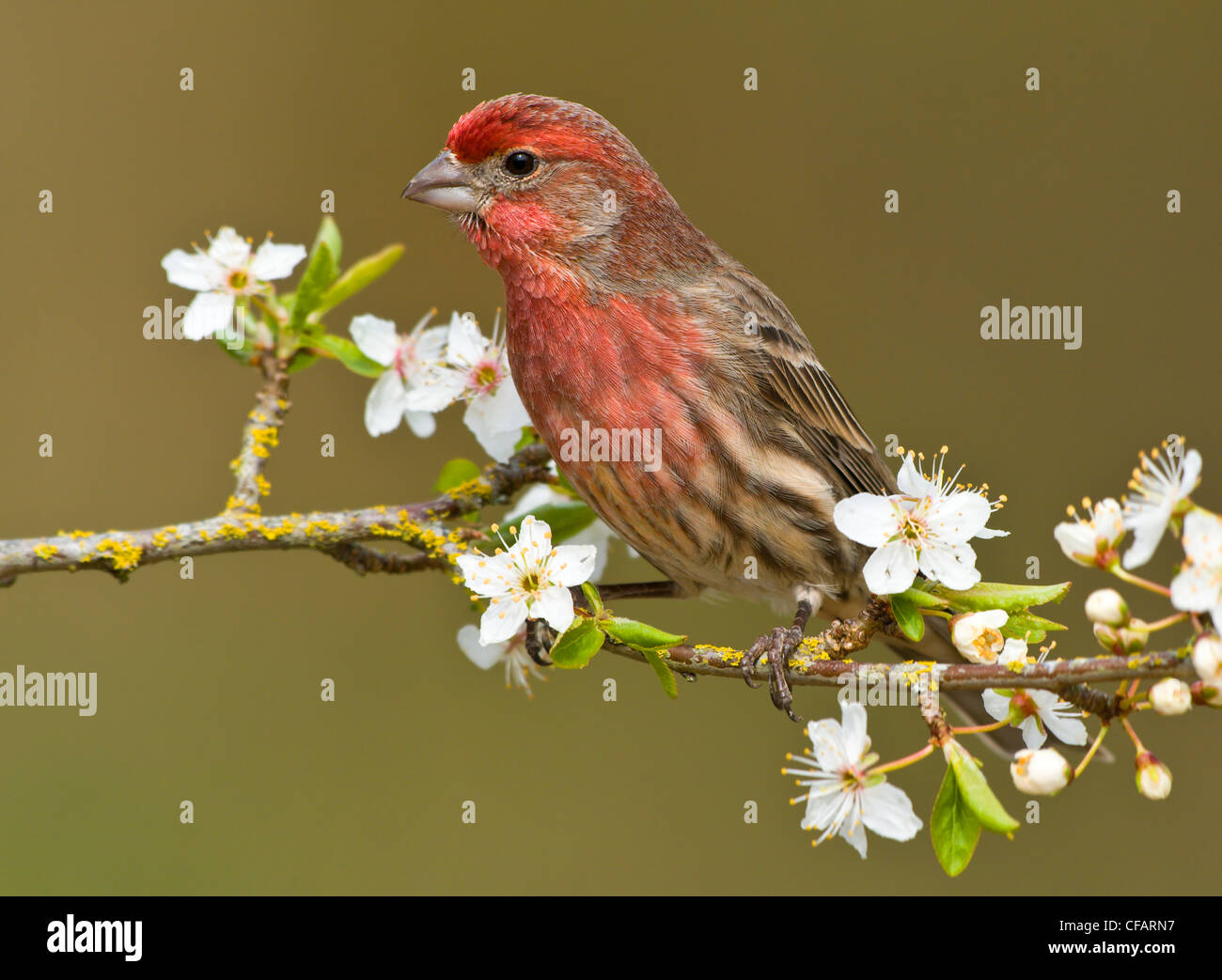 Male House finch (Carpodacus mexicanus) on plum blossoms at Victoria, Vancouver Island, British Columbia, Canada - Stock Image