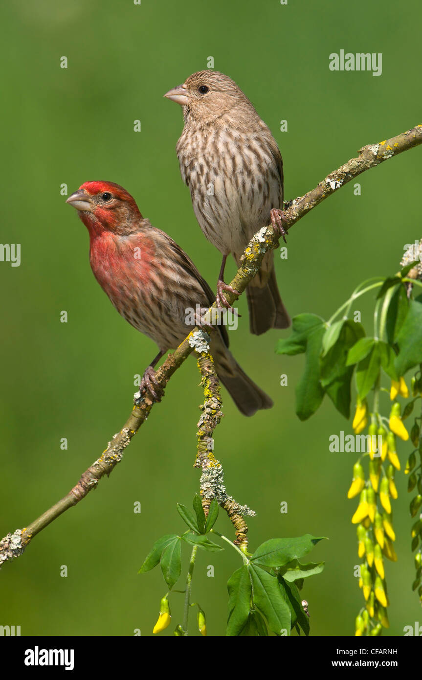 Male and female House finches (Carpodacus mexicanus) on plum blossoms at Victoria, Vancouver Island, British Columbia, - Stock Image