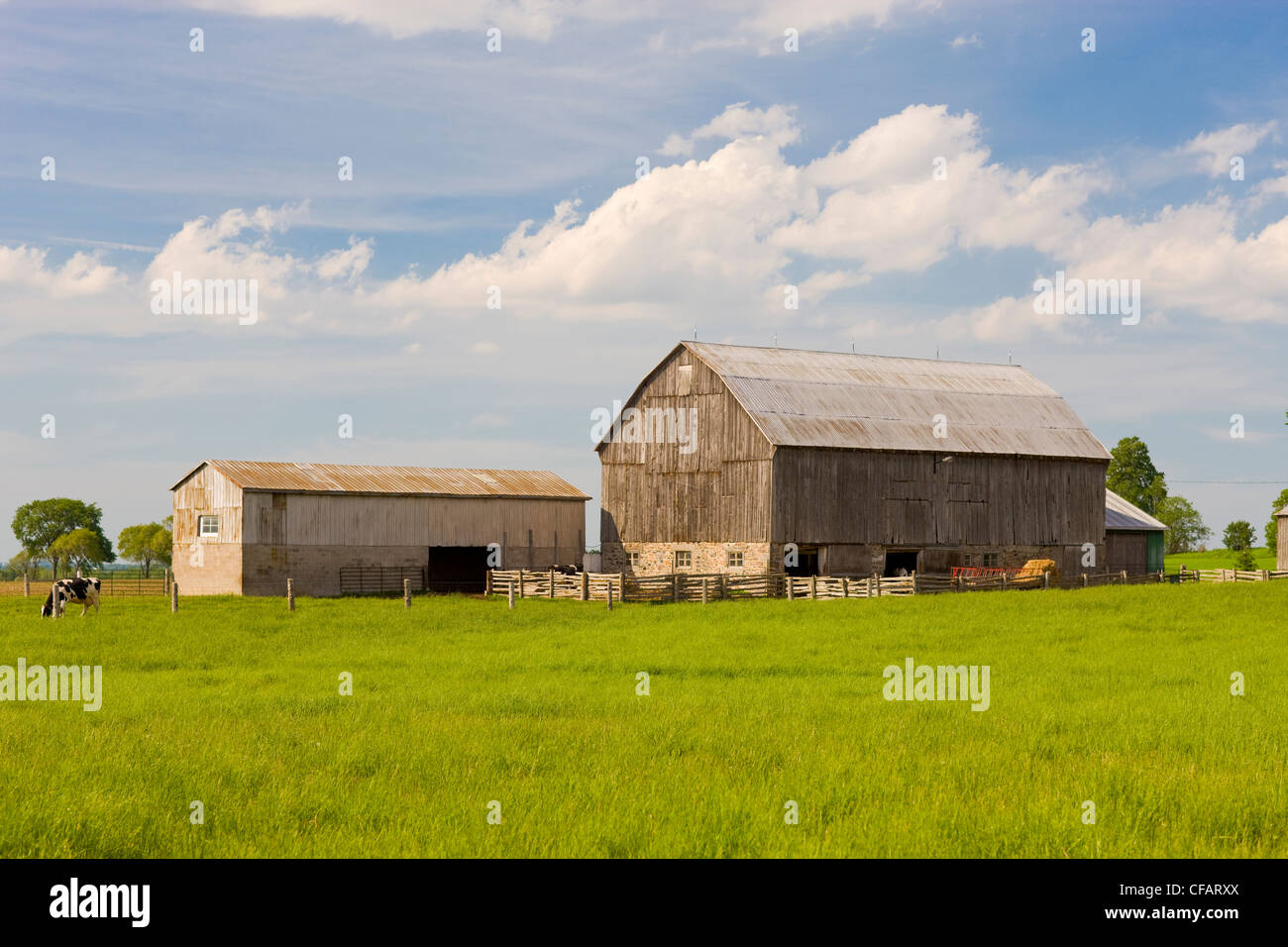 Cows in a barn yard in Scugog, Ontario, Canada. - Stock Image