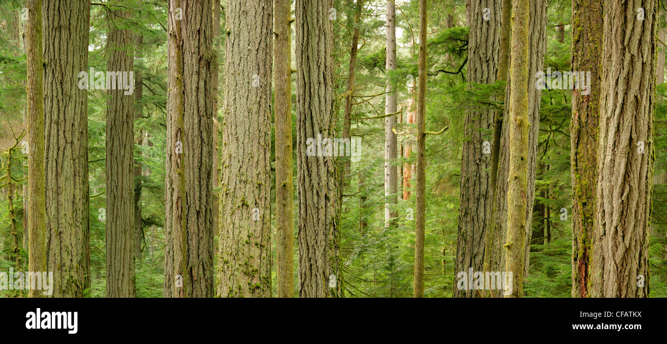 The giant Douglas firs of Cathedral Grove, MacMillan Provincial Park, Vancouver Island, British Columbia, Canada - Stock Image