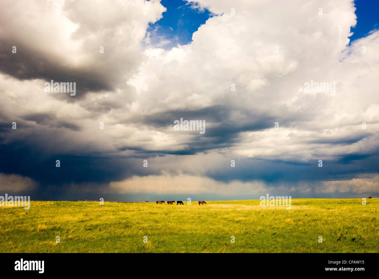 Horses grazing with storm clouds overhead near Brooks, Alberta, Canada. Stock Photo