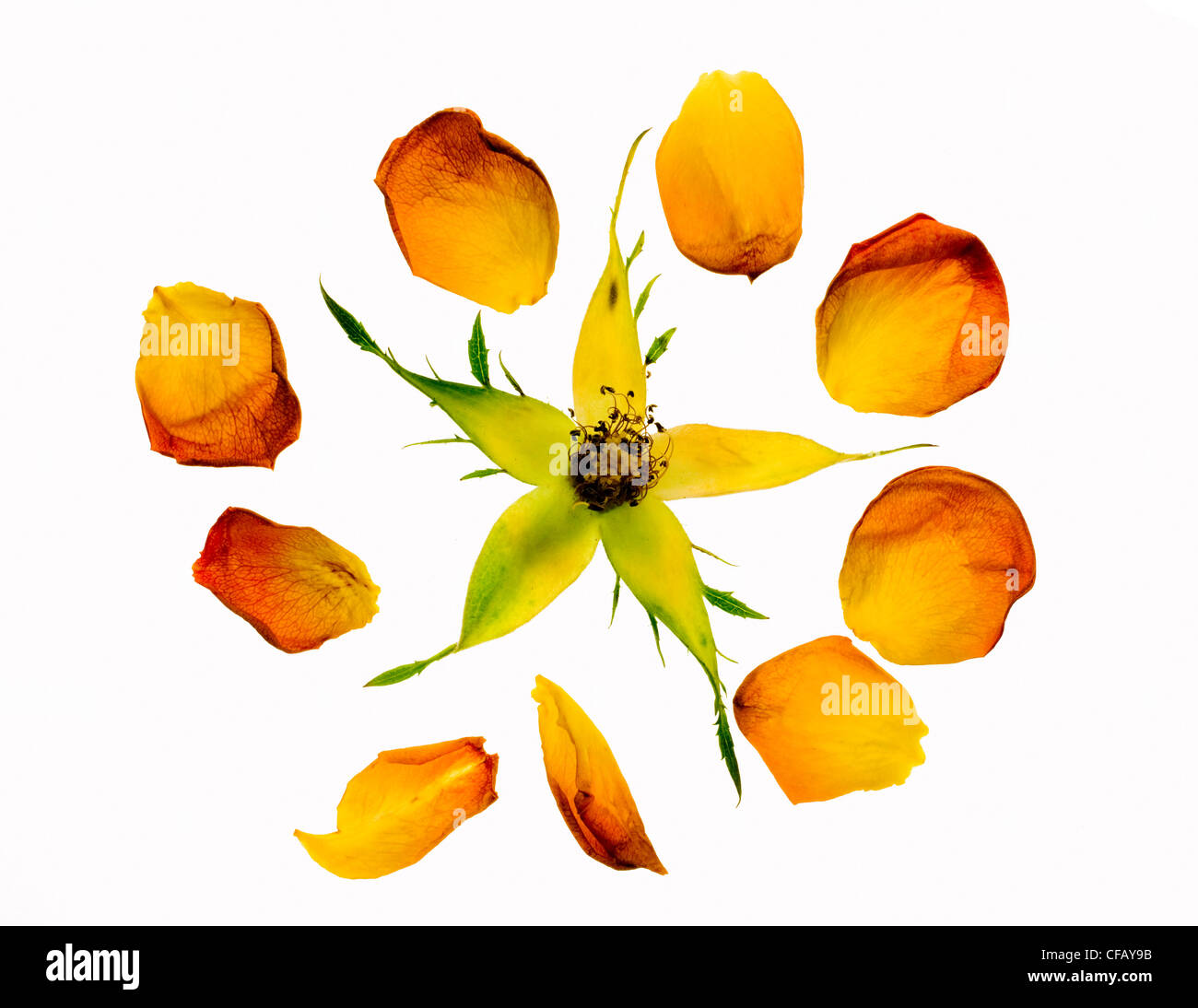Broken rose with spread petals against white background - Stock Image