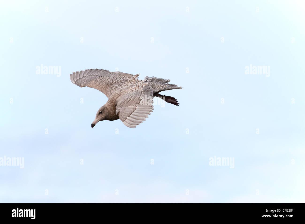 Glaucous Gull Larus hyperboreus immature 1st winter plumage in flight - Stock Image