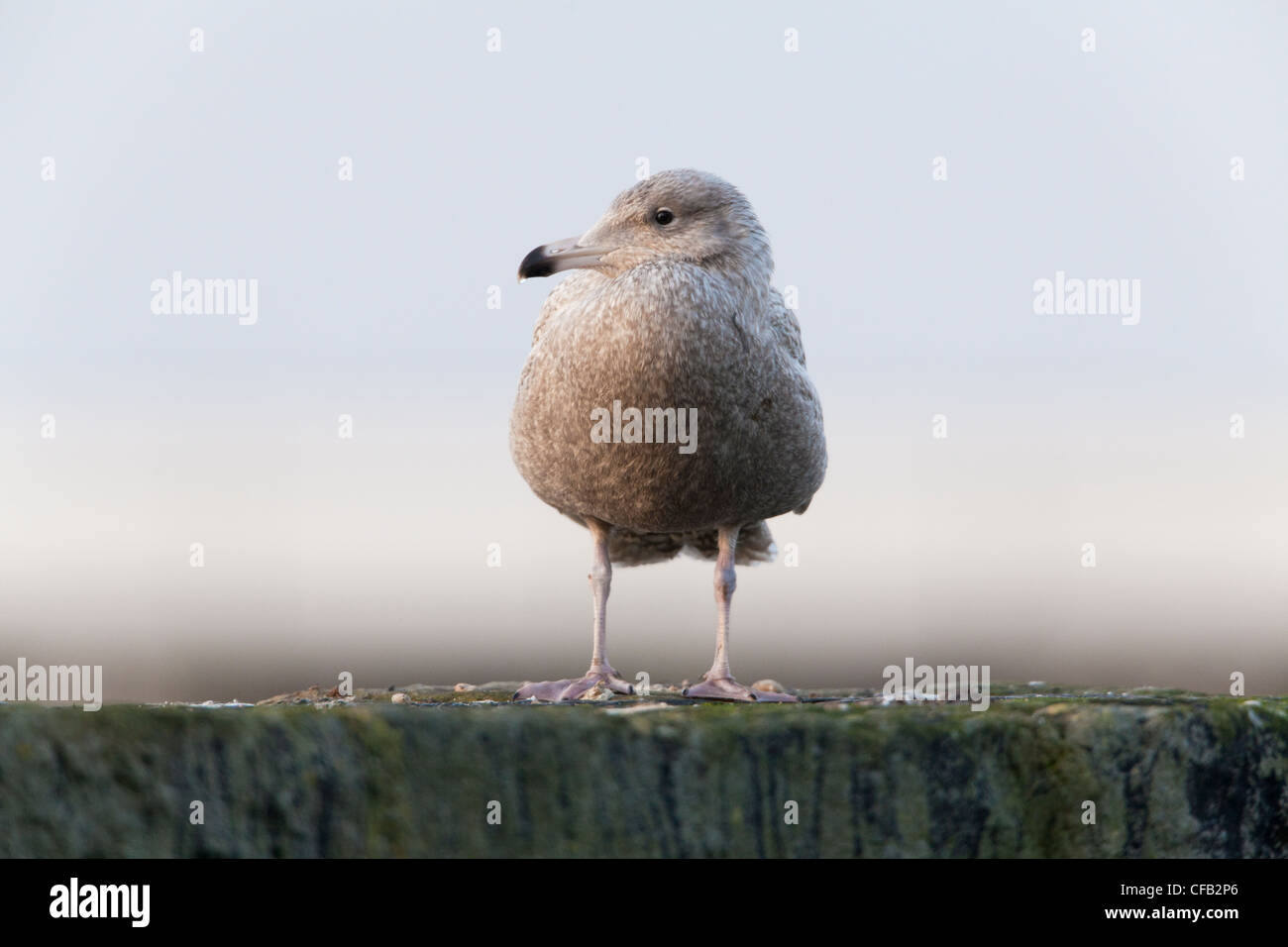 Glaucous Gull Larus hyperboreus immature 1st winter plumage perched on harbour wall - Stock Image