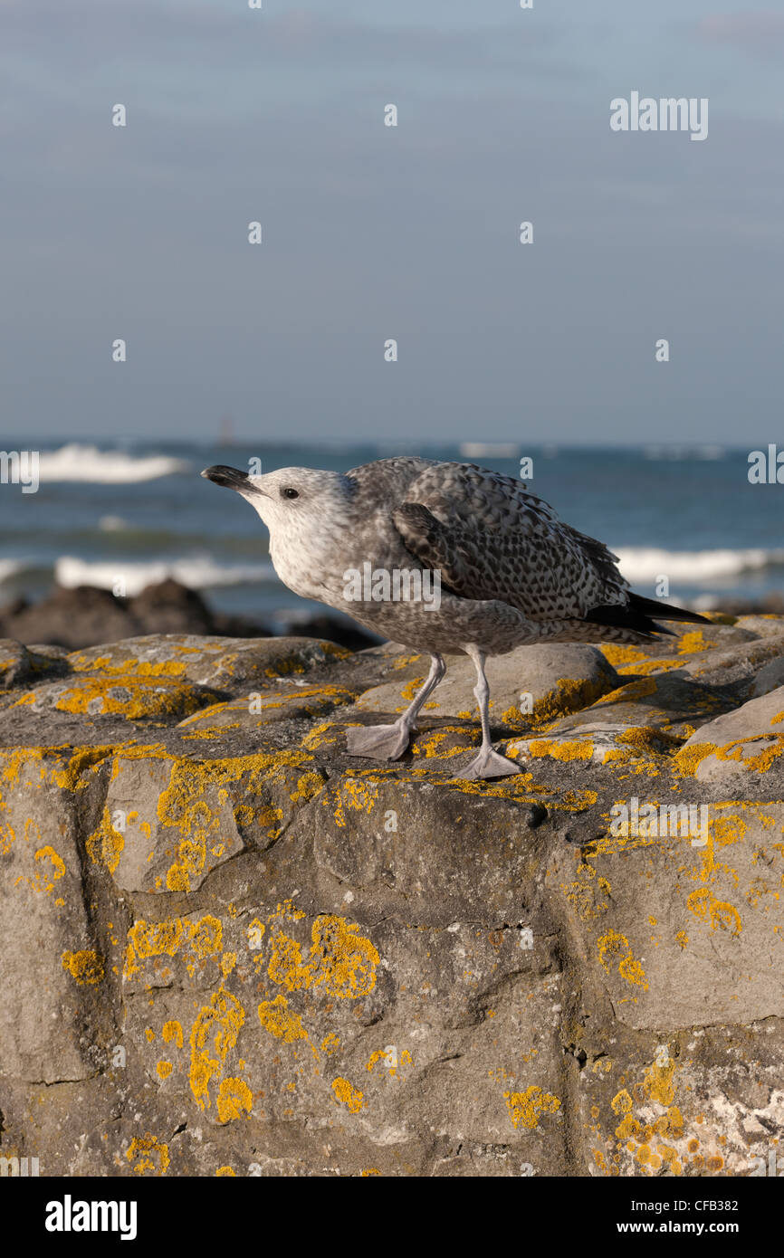 Herring Gull Larus argentatus 1st winter immature begging for food perched on seawall - Stock Image