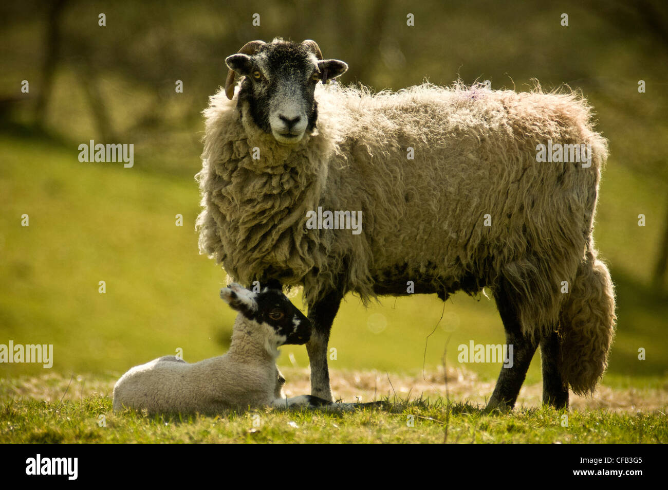 Sheep with lamb - Stock Image