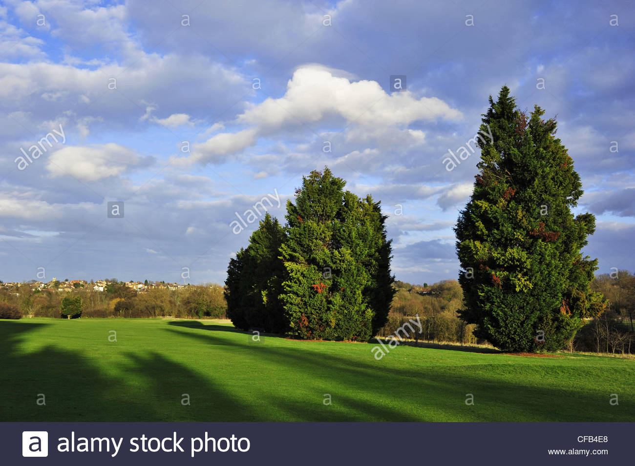 Leylandii trees West Middlesex Golf Course in Southall London UK - Stock Image