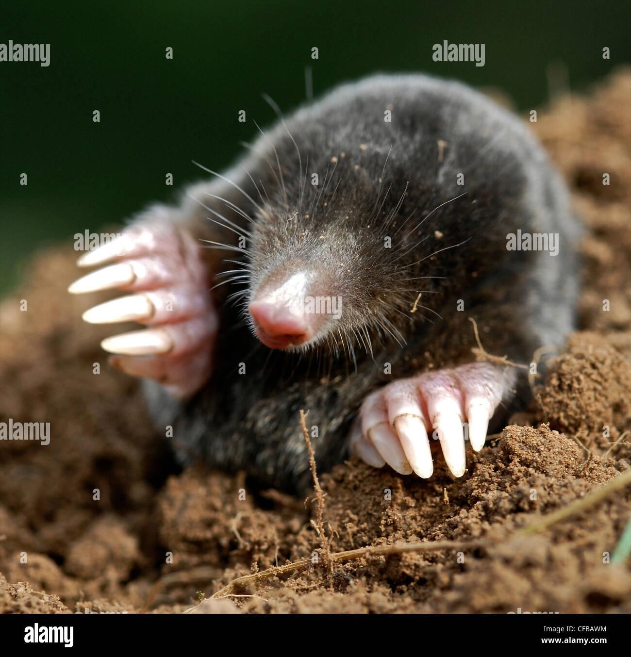 MOLE Common Mole (Talpa europaea) Common mammal but rarely seen, the mole spends most of its life below ground, - Stock Image