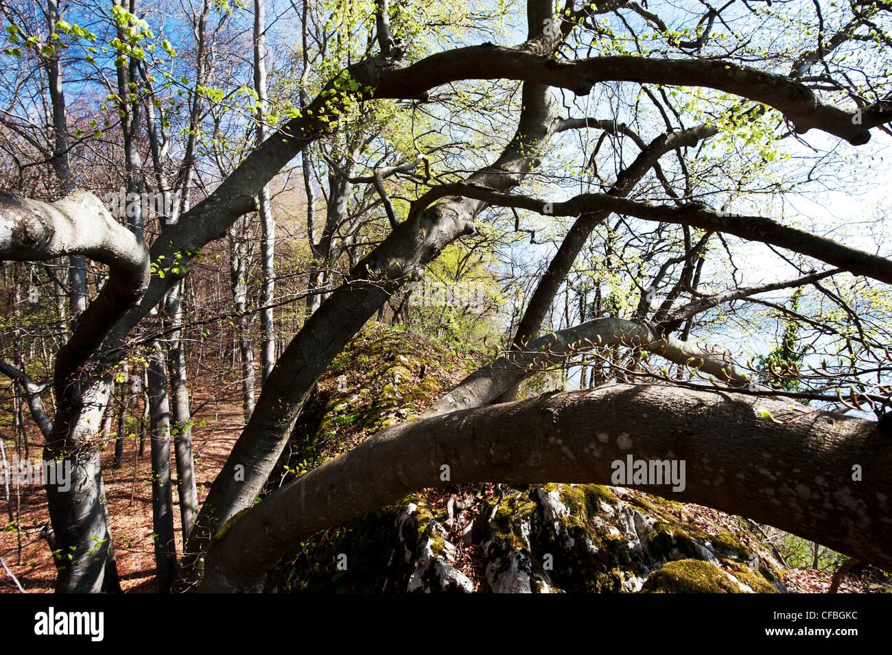 beech, beech forest, Fagus, Fagus silvatica, spring, Jura, canton Bern, nature, natural forest, forest reserve, - Stock Image