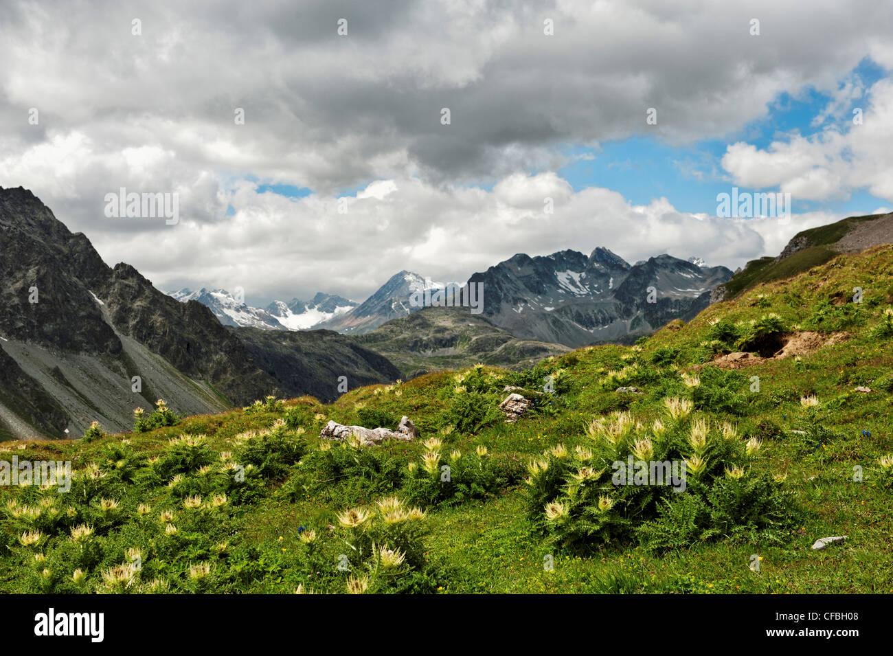 Albula, alp, shieling, pasture, Cirsium spinosissimum, thistle, Plume thistles, Engadine, Upper Engadine, sky, skye Stock Photo