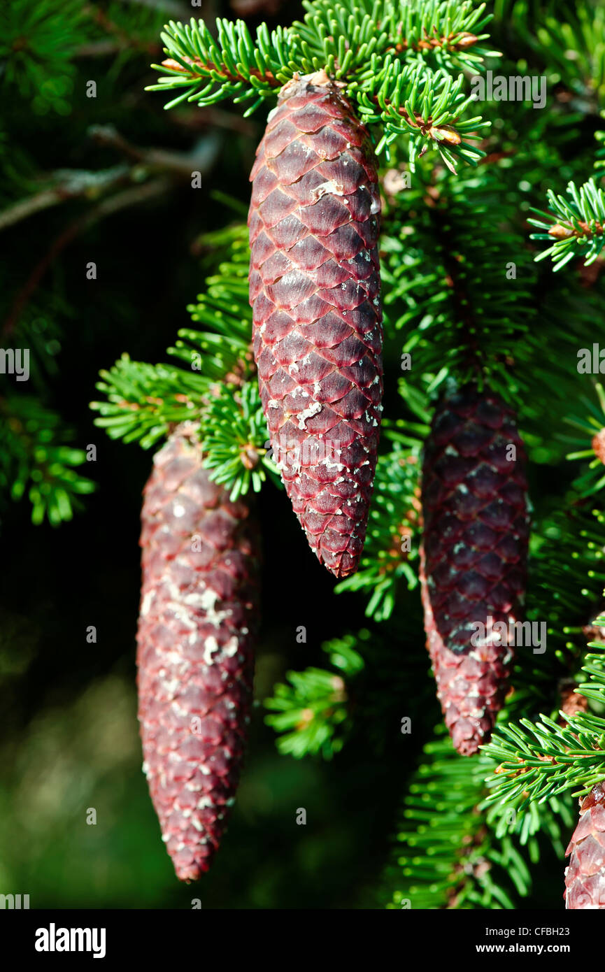 Blätter, norway spruce, cone, spruce cone, spruce needles, Jura, canton Solothurn, conifer, nature, Picea abies, - Stock Image