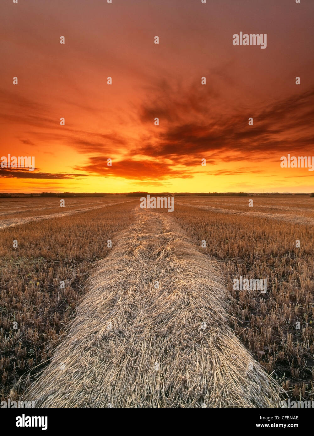 Harvested wheat crop at sunset in fall, Leduc, Alberta, Canada - Stock Image