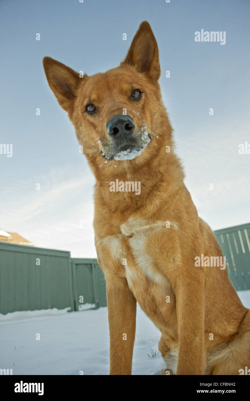 Portrait of mixed breed dog outdoors in winter - Stock Image