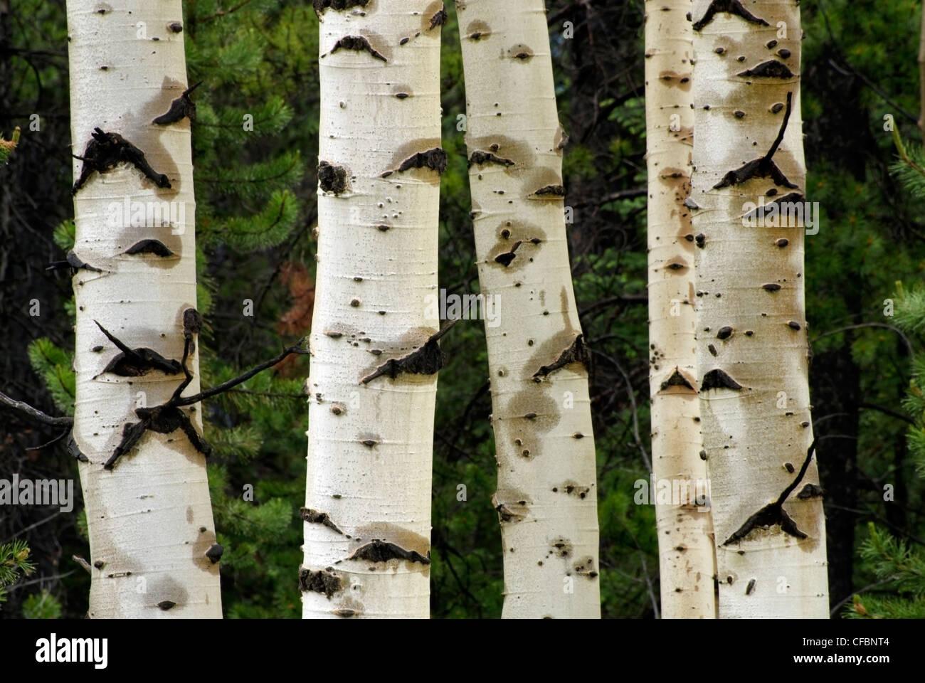 Wet aspen tree trunks (Populous tremuloides) near Nordegg, Alberta, Canada - Stock Image