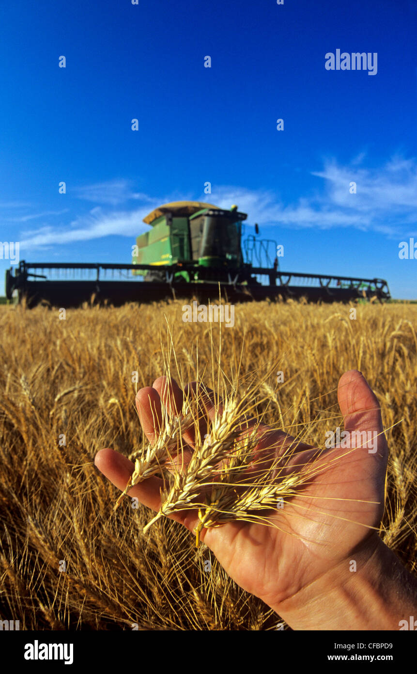 A farmer holds mature heads of winter wheat during the harvest near Winkler, Manitoba, Canada - Stock Image