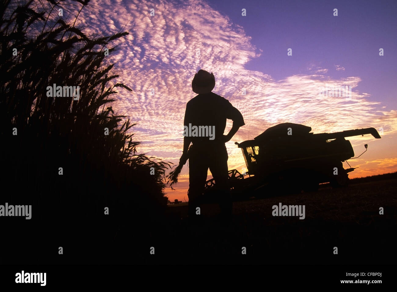 A farmer holding winter wheat looks out over his field and harvesting equipment at sunset near Winkler, Manitoba, - Stock Image