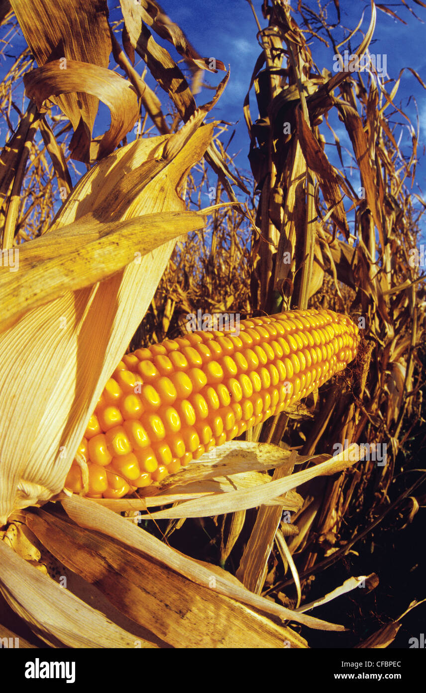 Close-up of harvest ready feed/grain corn near Oakbank, Manitoba, Canada - Stock Image