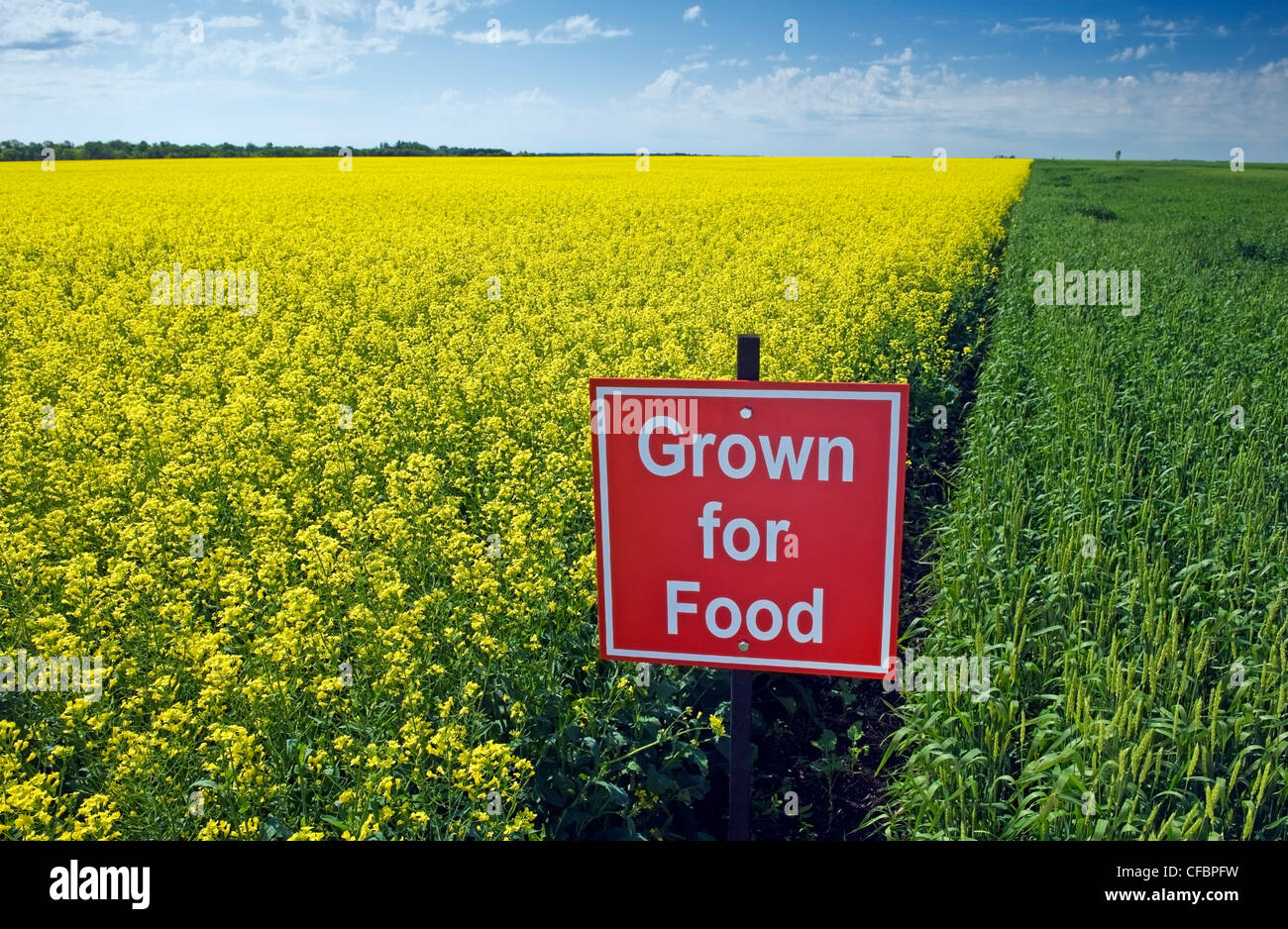 "Blooming canola and spring wheat fields with ""Grown for food"" sign near Carey, Manitoba, Canada Stock Photo"
