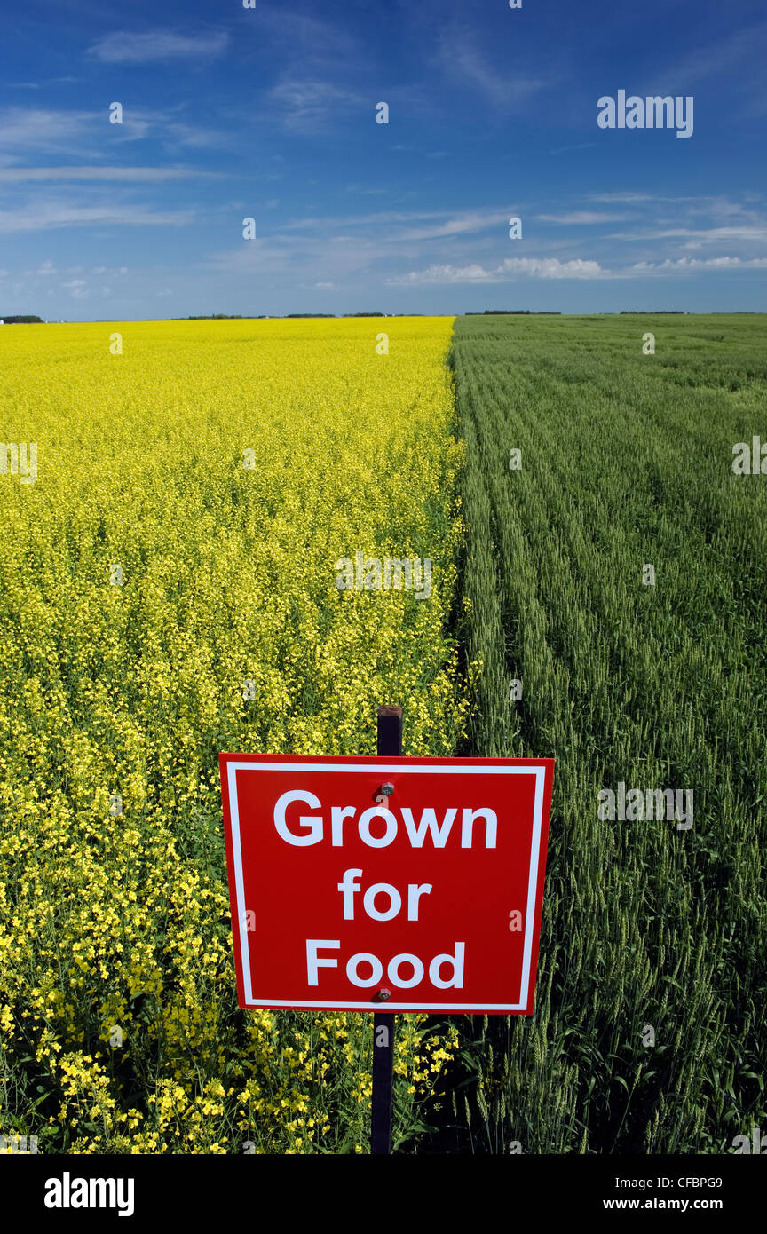 Blooming canola and spring wheat fields with 'Grown for food' sign near Dugald, Manitoba, Canada - Stock Image