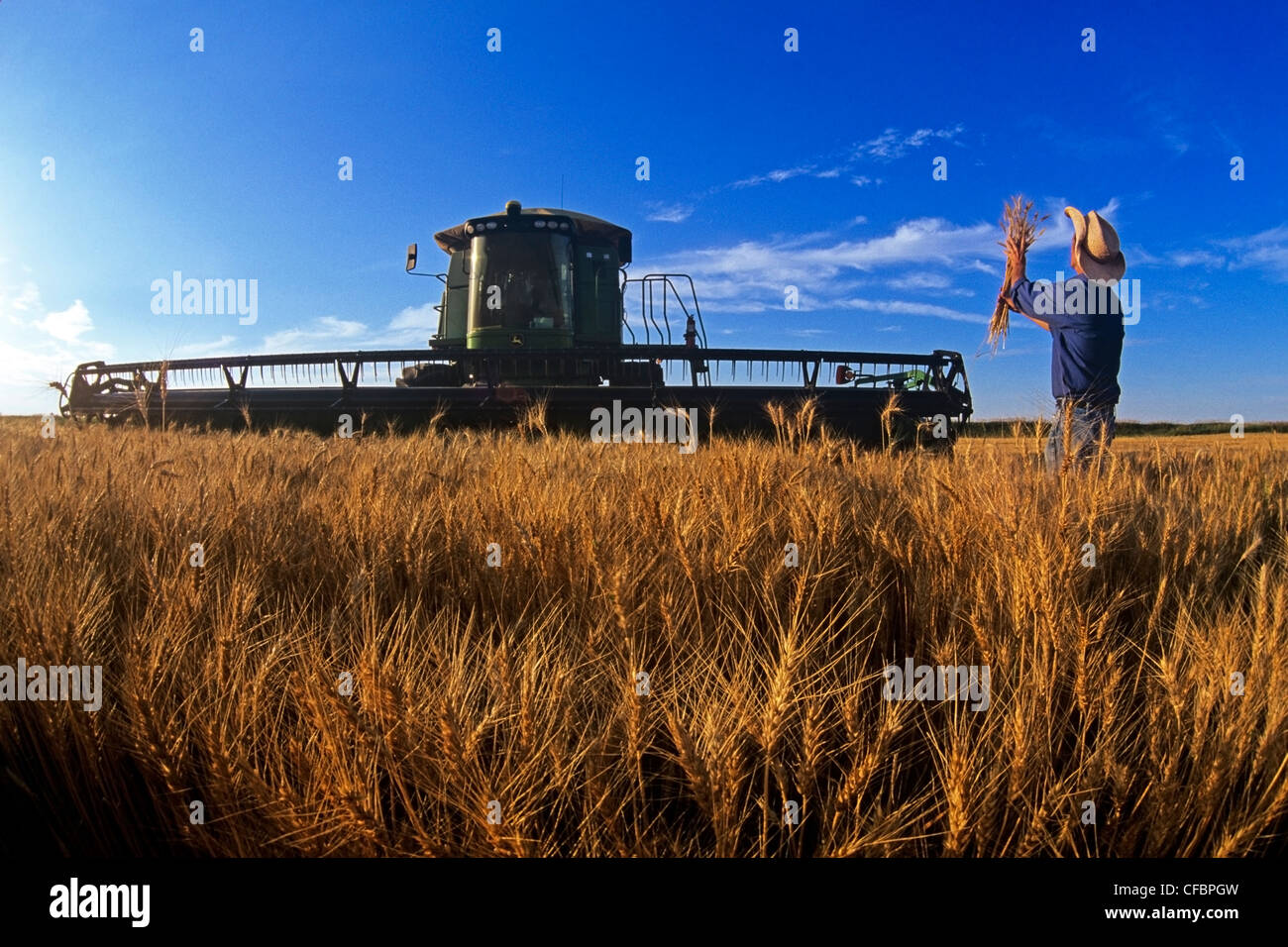 farmer examines harvest ready winter wheat crop - Stock Image