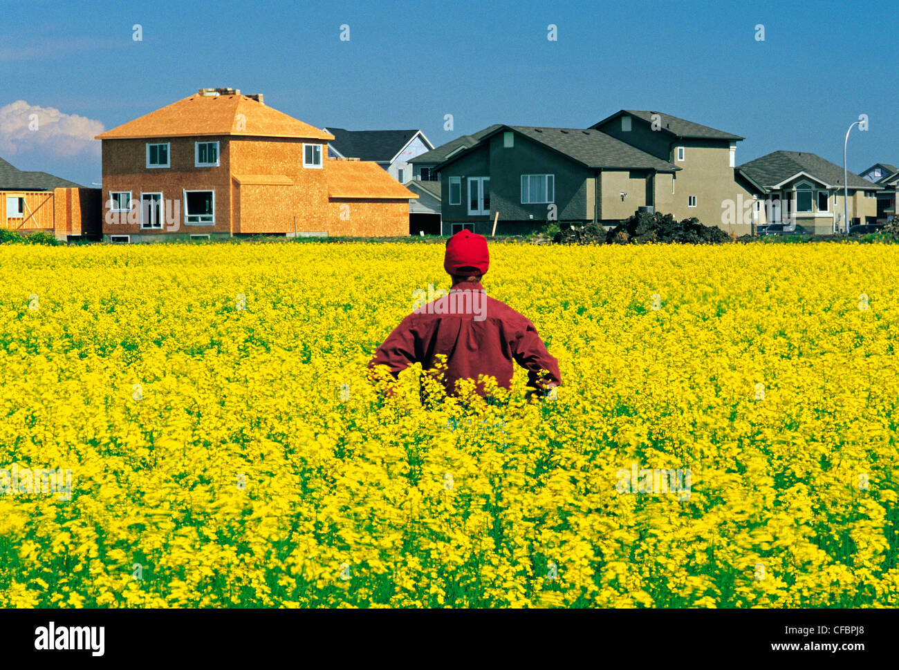 A farmer looks out over his blooming canola field with urban sprawl in the background, Winnipeg, Manitoba, Canada - Stock Image