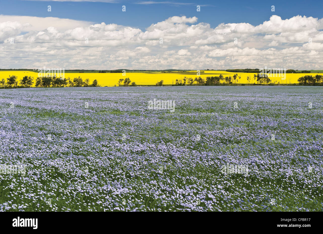 Windblown flowering flax field with canola in the background, Tiger Hills near Somerset, Manitoba, Canada - Stock Image