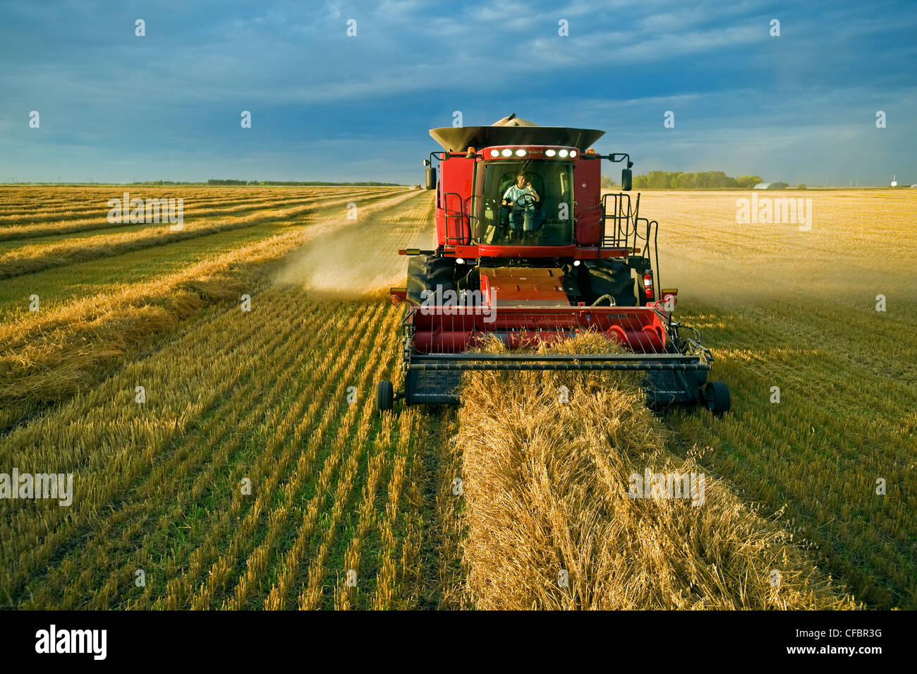 A farmer talks on his cell phone while harvesting his swathed oats (Avena sativa) near Dugald, Manitoba, Canada - Stock Image