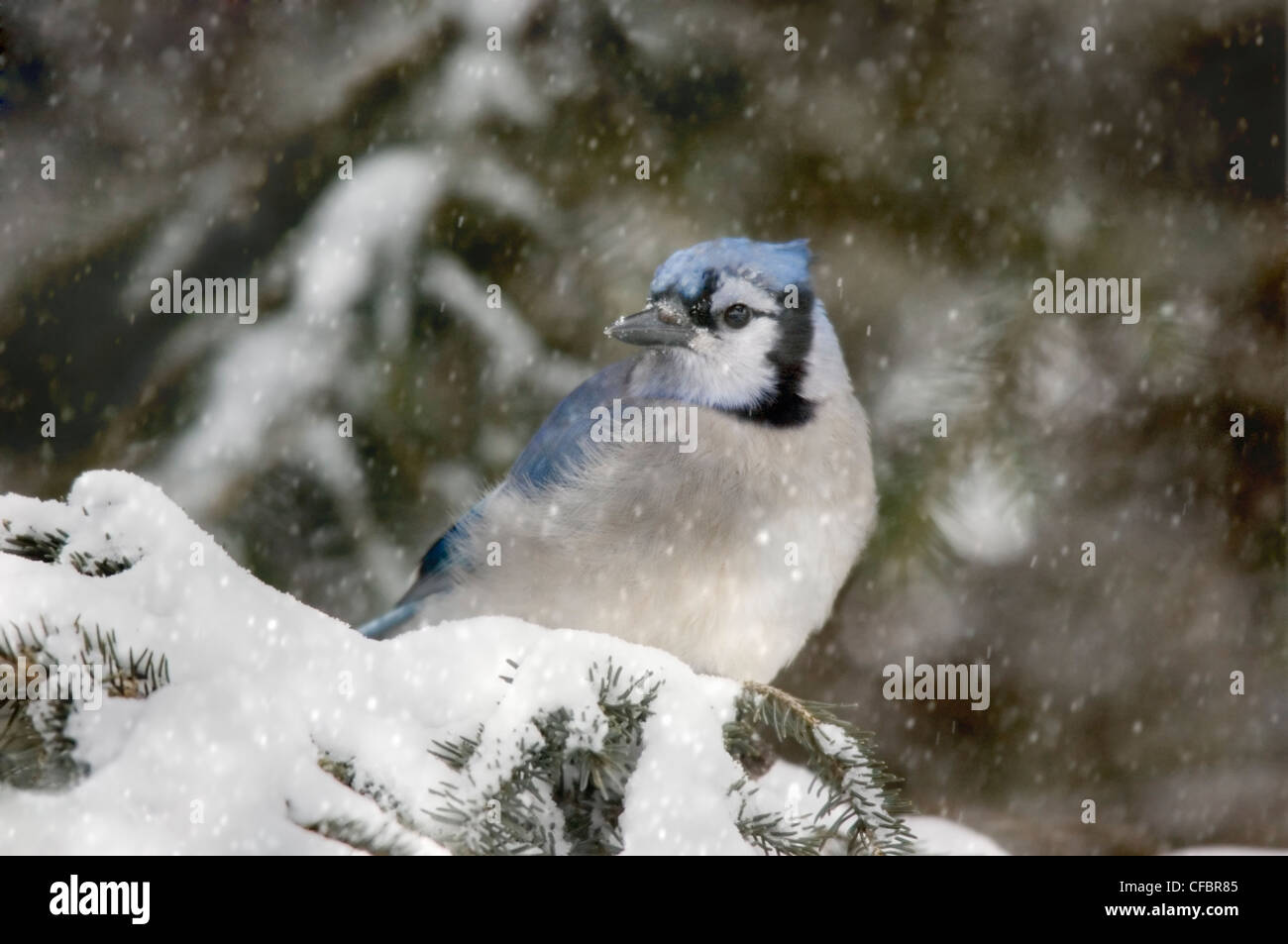 Blue jay (Cyanocitta cristata) sits in snowy spruce tree, Saskatchewan, Canada - Stock Image