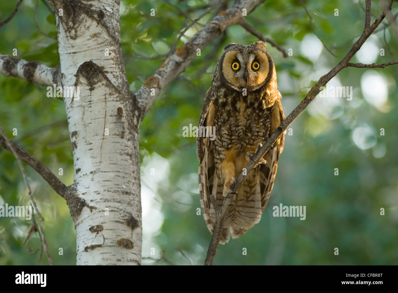 Long-eared owl (Asio otis) perches in aspen tree, Saskatchewan, Canada - Stock Image