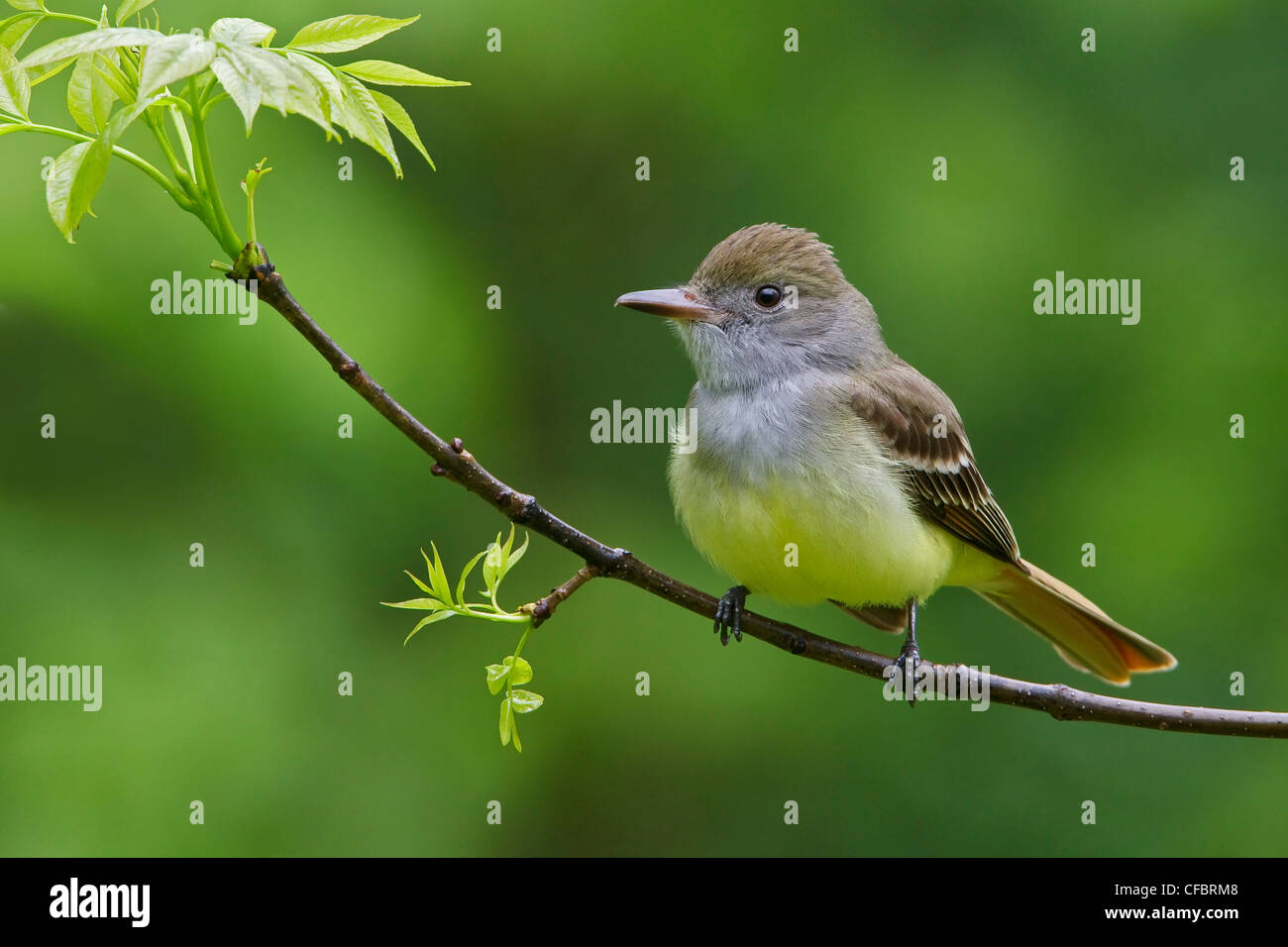 Great Crested Flycatcher (Myiarchus crinitus) perched on a branch in Manitoba, Canada. - Stock Image