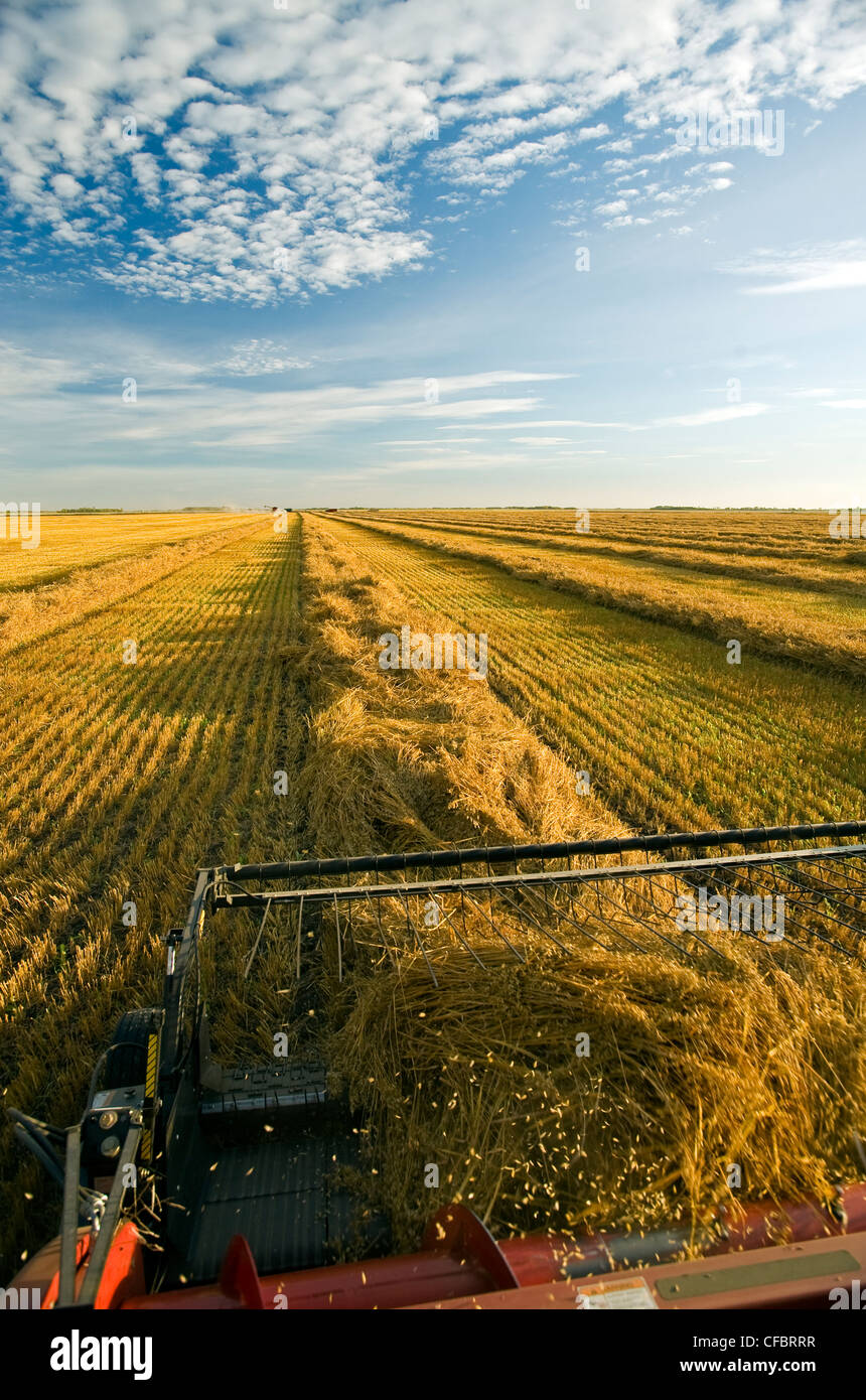 a combine header picks up swathed oats during the harvest near Dugald, Manitoba, Canada - Stock Image