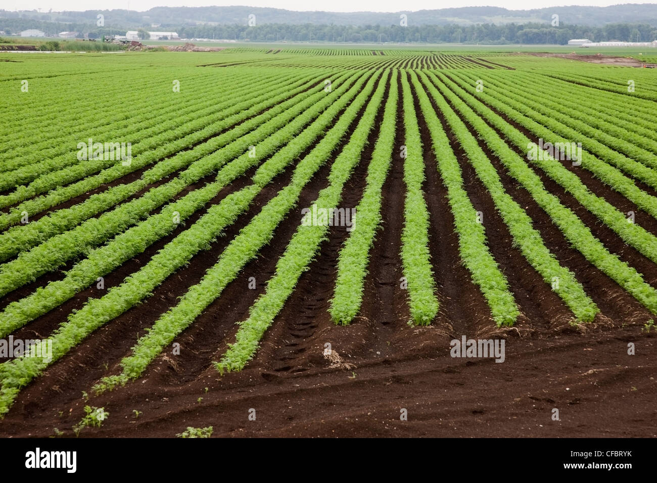 crop carrots growing organic muck soil Holland - Stock Image