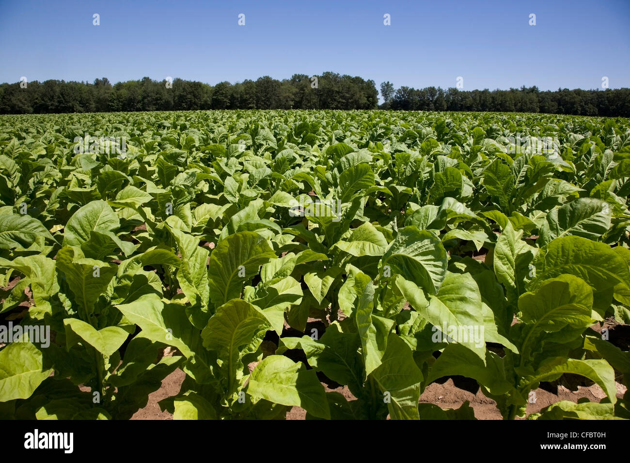 A crop of tobacco growing in Norfolk County east of Tilsonburg, Ontario, Canada - Stock Image