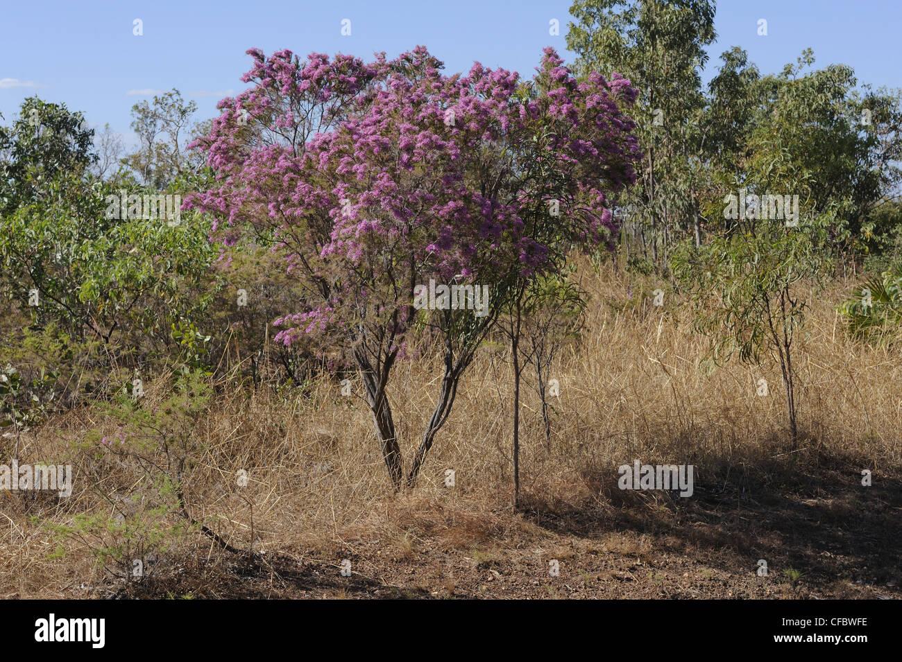 Turkey Bush, Calytrix exstipulata, Myrtaceae, shrub, blossoms, plant, Kakadu National Park, Northern Territory, - Stock Image