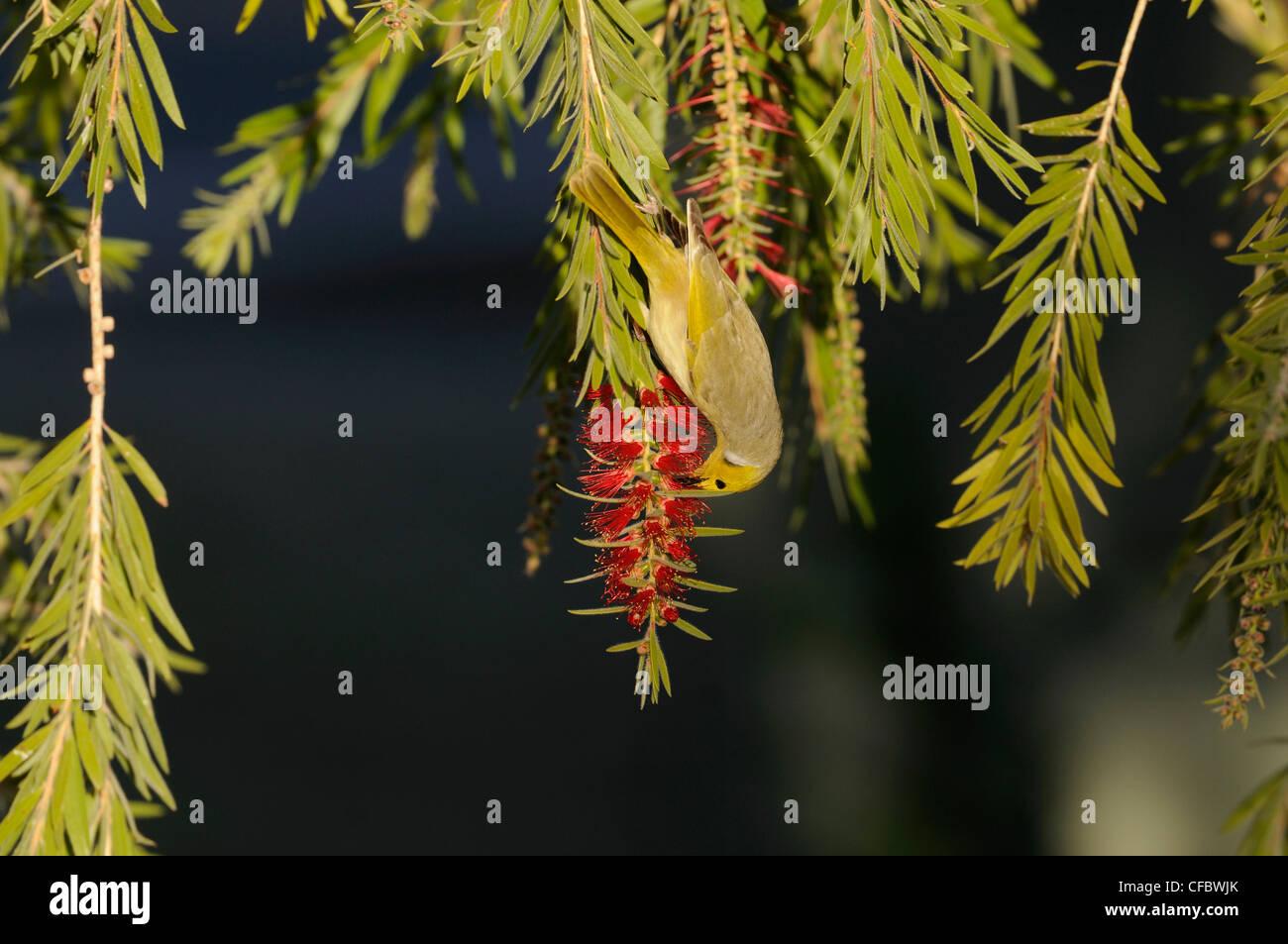 White-plumed Honeyeater, Lichenostomus penicillatus, Meliphagidae, bird, animal, bottlebrush, Alice Springs, Northern - Stock Image
