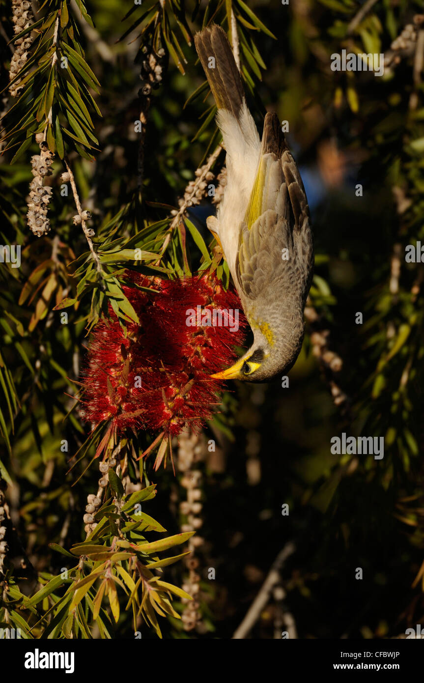 Yellow-throated Miner, Manorina flavigula, Meliphagidae, bird, animal, bottlebrush, Alice Springs, Northern Territoty, - Stock Image