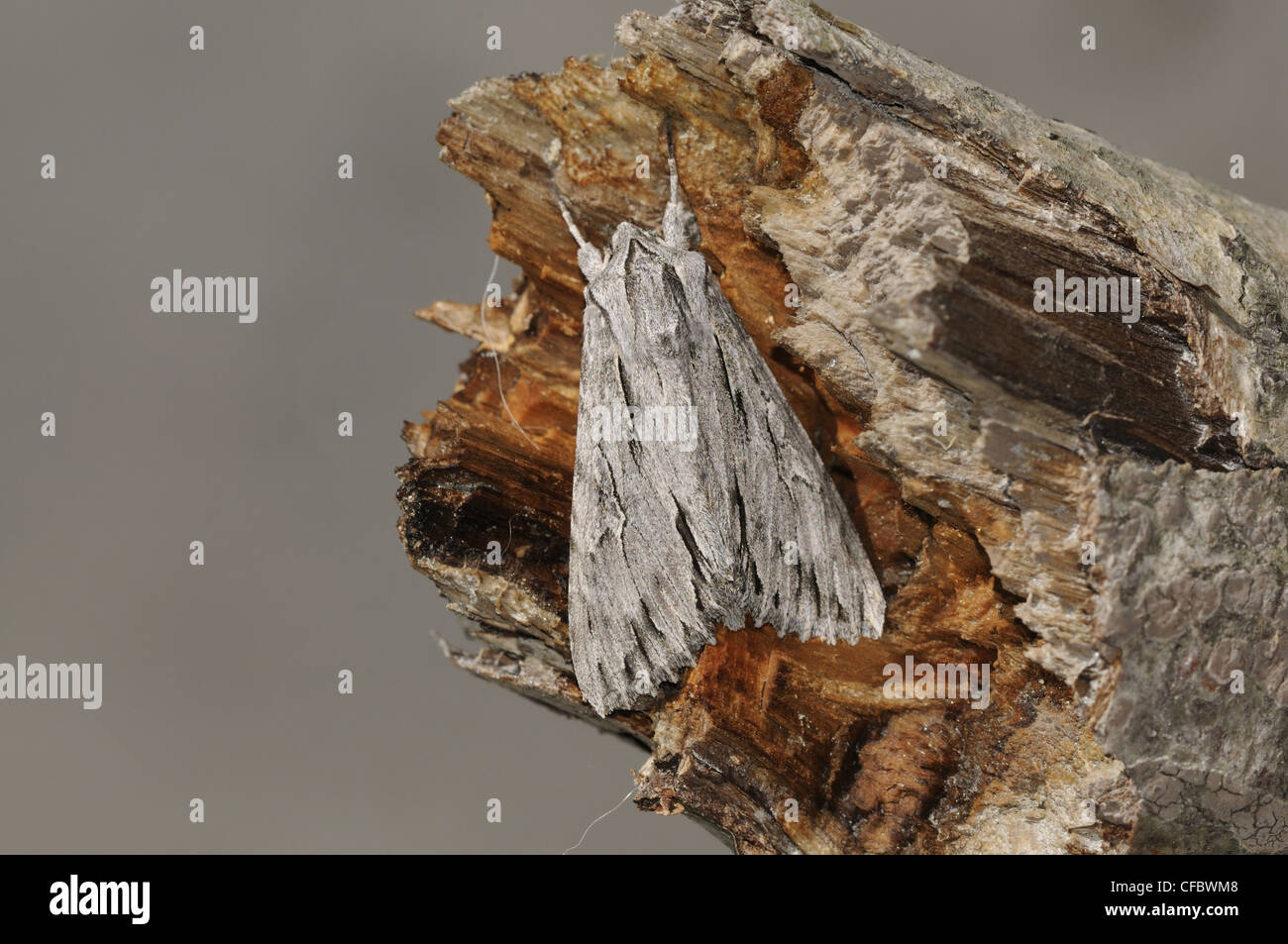 The Shark moth, Cuculia umbratica, Noctuidae, moth, insect, animal, Untervaz, Canton, Grisons, Switzerland - Stock Image