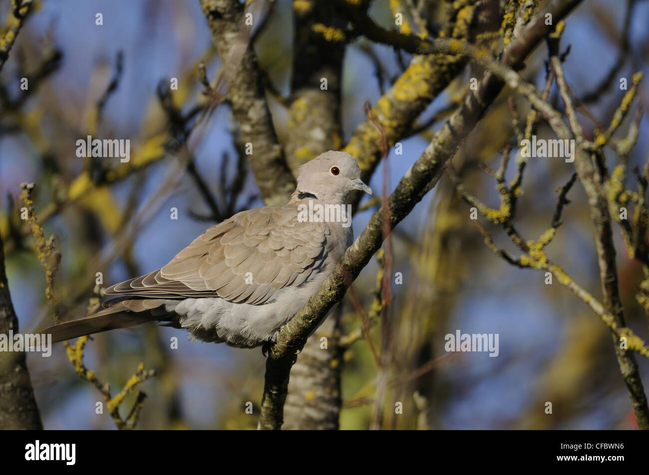 Eurasian Collared Dove, Streptopelia decaocto, Columbidae, dove, animal, bird, Champagne, France Stock Photo