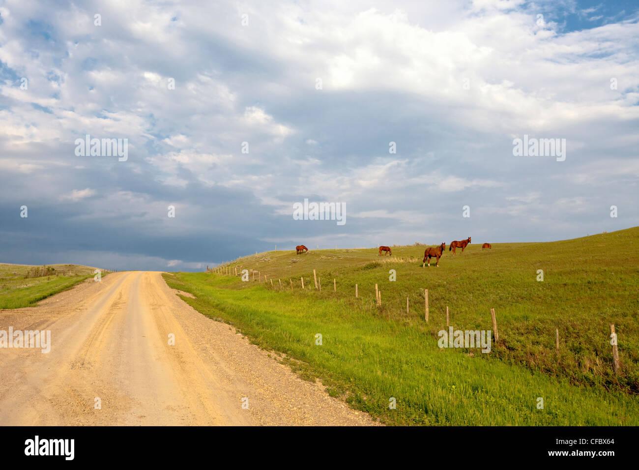 Clay road and horses grazing near Morse, Saskatchewan, Canada. - Stock Image