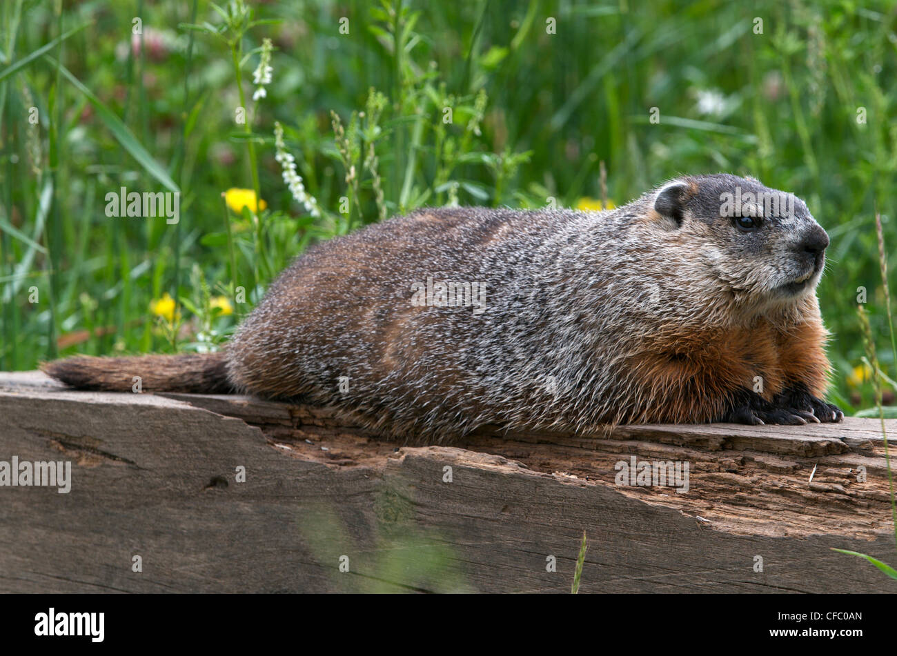 Groundhog or woodchuck (Marmota monax) resting on a wooden timber in summer grasses, South Gillies, Ontario, Canada. - Stock Image