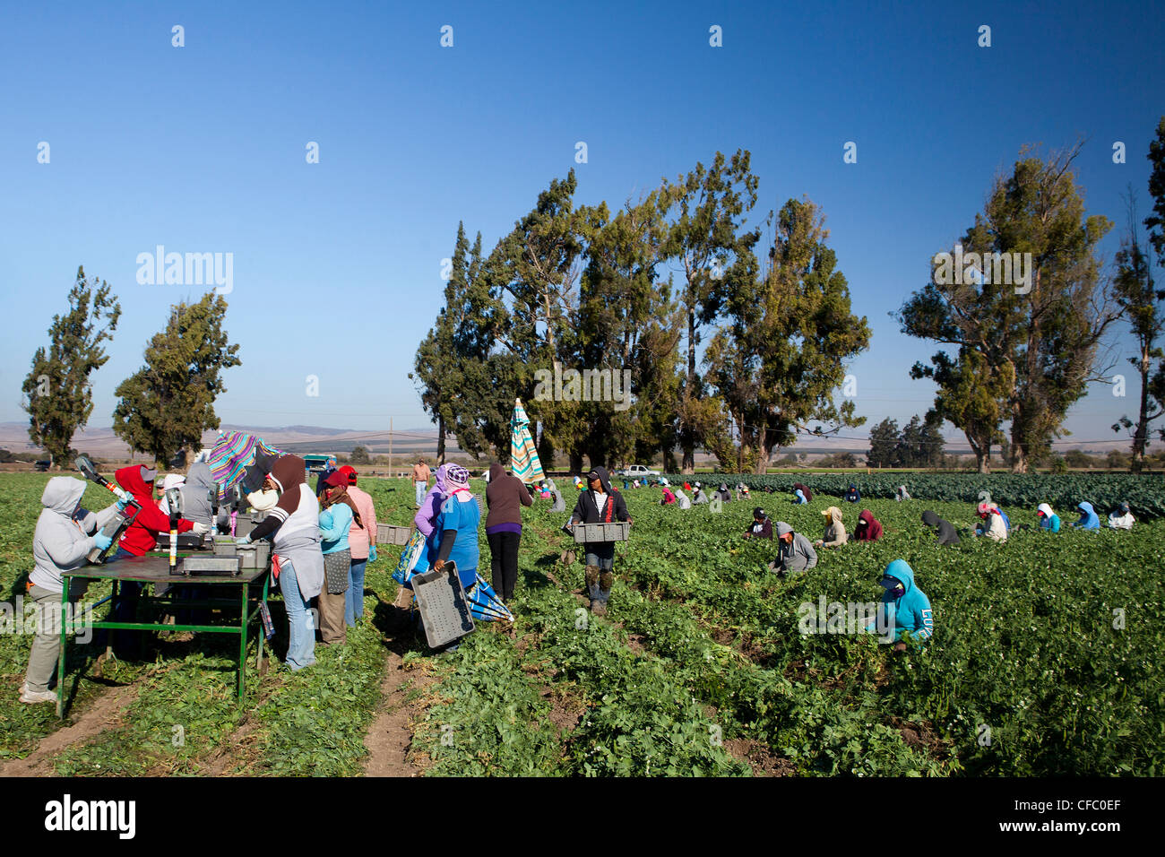USA, United States, America, California, farmers, harvesting, cotton, farmer, farmers, green, hard, harvesting, - Stock Image
