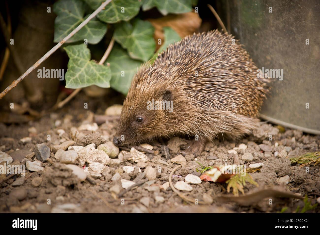 Hedgehog in domestic garden - Stock Image