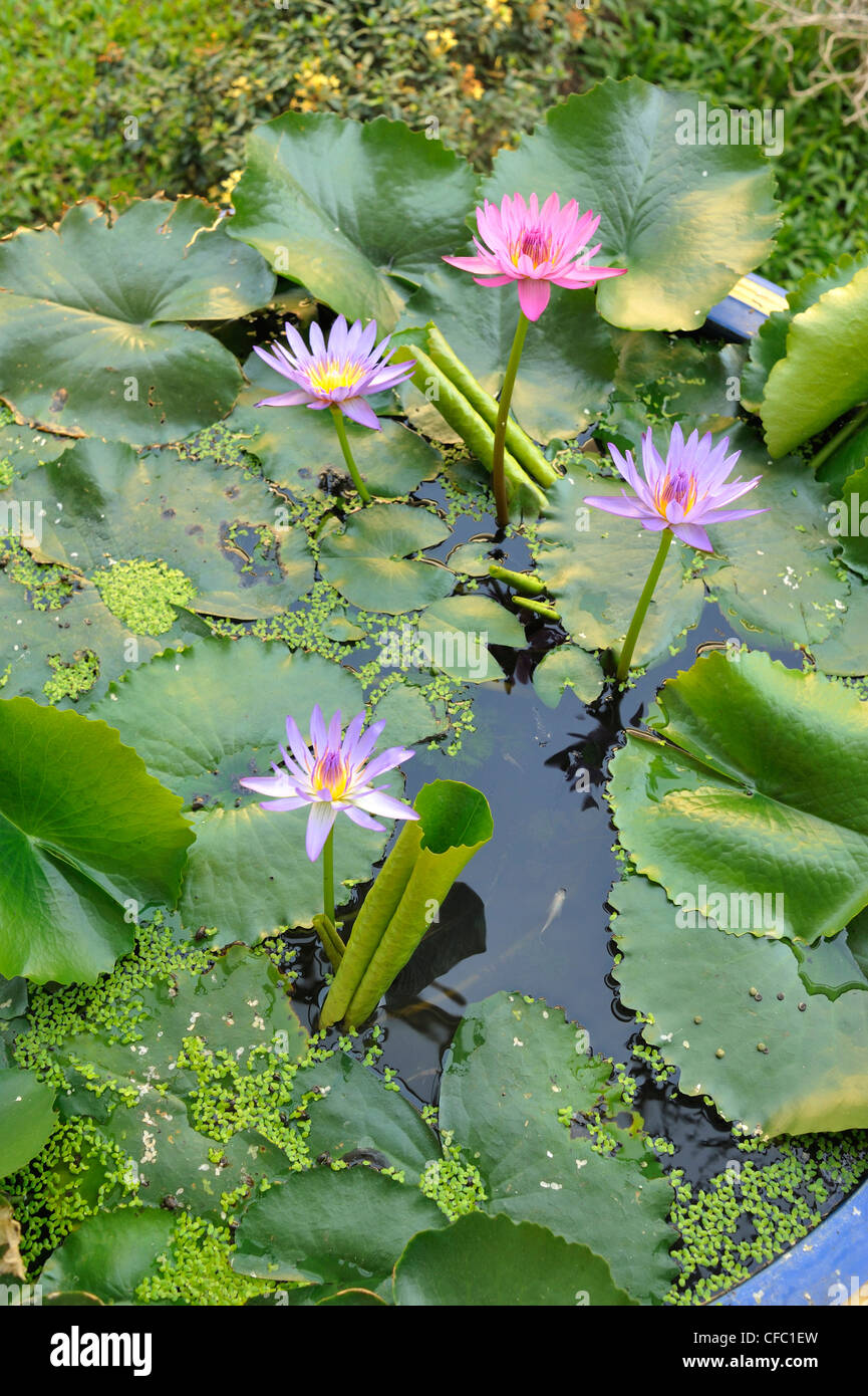 lily pond in garden, Mae Sot, Thailand - Stock Image