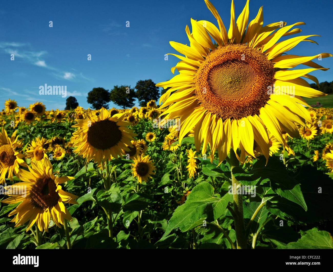 Altmühltal, Nature Park, Asteraceae, Bavaria, Upper Bavaria, Compositae, Germany, Dollnstein, field, yellow, - Stock Image